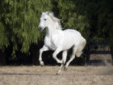 Grey Andalusian Stallion Cantering in Field, Ojai, California, USA