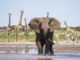 African Elephant, Warning Posture Display at Waterhole with Giraffe, Etosha National Park, Namibia