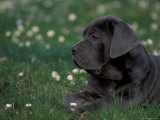 Black Neopolitan Mastiff Puppy Lying in Grass Premium Poster