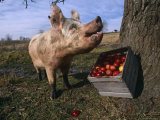Domestic Pig, Feeding on Apples, Illinois, USA