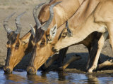 Red Hartebeest, Adults and Young Drinking, Etosha National Park, Namibia