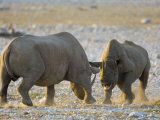 Black Rhinoceroses, Female Rejecting Amorous Male's Advances, Etosha National Park, Namibia