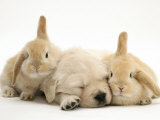 Golden Retriever Puppy Sleeping Between Two Young Sandy Lop Rabbits