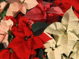 Various Poinsettias in Bloom