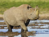 Black Rhinoceros, Walking in Water, Etosha National Park, Namibia