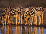 Four Common Zebra, Drinking at Water Hole, Etosha National Park, Namibia