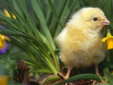 Domestic Chicken, Baby Chick, USA