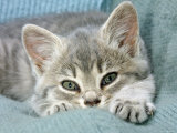 Domestic Cat, Blue Tabby Kitten