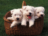 Three West Highland Terrier / Westie Puppies in a Basket Premium Poster