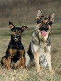 German Shepherd and Mixed Breed Dogs