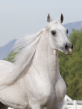 Grey Arabian Stallion Portrait, Ojai, California, USA