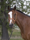 Bay Thoroughbred Gelding with Headcollar and Lead Rope, Fort Collins, Colorado, USA