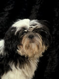 Shih Tzu with Hair Cut Short Premium Poster