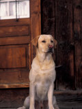 Yellow Labrador Retriever Sitting in Front of a Door Premium Poster