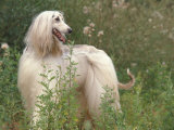 Afghan Hound Looking Back