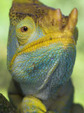 Portrait of Male Parson's Chameleon, Ranomafana National Park, South Eastern Madagascar