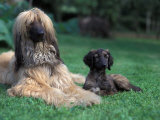 Domestic Dogs, Afghan Hound Lying on Grass with Puppy