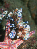 Harlequin Shrimp, Starfish Prey, Upside Down to Prevent It from Escaping, Andaman Sea, Thailand