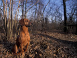 Tyrolean Bloodhound Sitting in Dry Leaves in Woodland