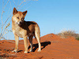 Dingo on Sand Dunes, Northern Territory, Australia