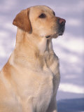 Labrador Retriever Portrait in Snow Premium Poster