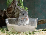 Long-Tailed Chinchilla Sand Bathing