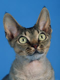 Head of Devon Rex Cat