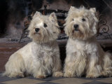 Domestic Dogs, Two West Highland Terriers / Westies Sitting Together Premium Poster