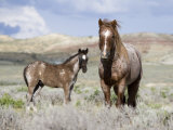 Wild Horses, Red Roan Stallion with Foal in Sagebrush-Steppe Landscape, Adobe Town, Wyoming, USA