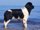 Landseer / Newfoundland Standing at the Beach Premium Poster