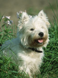 Head Portrait of West Highland White Terrier Dog