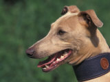 Fawn Whippet Wearing a Collar
