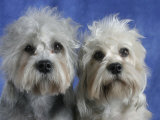 Two Dandie Dinmont Terrier Dogs