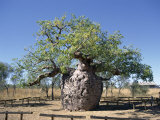 Old Hollow Boab Tree, Outside Derby, Western Australia, Australia
