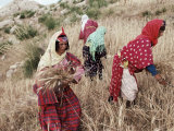 Berber Women Harvesting Near Maktar, the Tell, Tunisia, North Africa, Africa