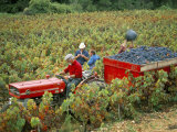 Harvesting Grapes, Near Bagnoles Sur Ceze, Languedoc Roussillon, France