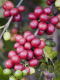 Ripe Coffee Berries, Kona Joe's Coffee Plantation, Kona, Hawaii