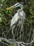 Great Blue Heron, Everglades National Park, Unesco World Heritage Site, Florida, USA