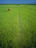 Rice Paddy Fields, Lang Co, Vietnam