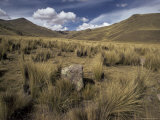 Bunch Grass on Windswept Altiplano, Puno, Cuzco, Peru, South America