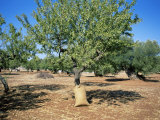Olive Grove, Puglia, Italy