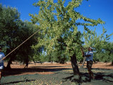 Harvesting Olives in Grove, Puglia, Italy