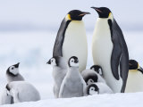 Emperor Penguins (Aptenodytes Forsteri) and Chicks, Snow Hill Island, Weddell Sea, Antarctica