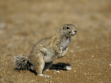 Cape Ground Squirrel, Xerus Inauris, Namibia, Africa