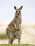 Eastern Grey Kangaroo (Macropus Fuliginosus), Marramarang National Park, New South Wales, Australia