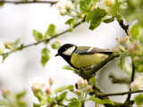 Great Tit (Parus Major) in Apple Tree, Bielefeld, Nordrhein Westfalen, Germany