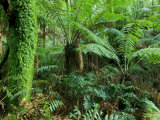 Buy Rainforest, Otway National Park, Victoria, Australia at AllPosters.com