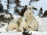 Polar Bear (Ursus Maritimus) Mother with Triplets, Wapusk National Park, Churchill, Manitoba