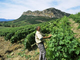 Vineyards, Patrimonio Area, Corsica, France