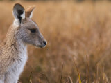 Eastern Grey Kangaroo, Kosciuszko National Park, New South Wales, Australia